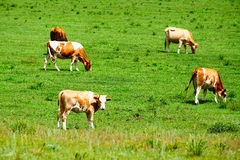 The cattle in the lawn Royalty Free Stock Images