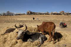 Cattle laying on hay, Ethiopia Stock Photos
