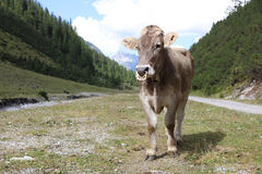 Cattle in Lechtal Valley Stock Image