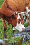 Cattle licking rock Stock Image