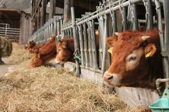 Cattle Like Mammal, Cow Goat Family, Livestock, Farm stock image