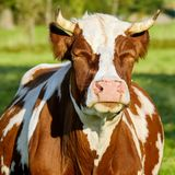Cattle Like Mammal, Dairy Cow, Cow Goat Family, Livestock