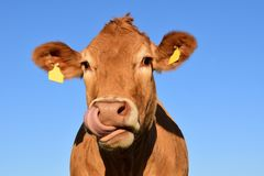 Cattle Like Mammal, Dairy Cow, Horn, Fauna Stock Photos