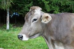 Cattle Like Mammal, Fauna, Dairy Cow, Grass Stock Photos