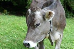 Cattle Like Mammal, Fauna, Horn, Grass stock photo