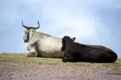 Cattle Like Mammal, Fauna, Horn, Sky royalty free stock images