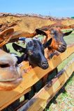 Cattle Like Mammal, Fauna, Wildlife, Horn royalty free stock photos