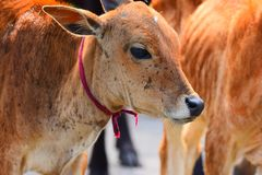 Cattle Like Mammal, Fauna, Wildlife, Snout Royalty Free Stock Photography