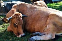 Cattle Like Mammal, Grazing, Horn, Pasture