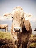 Cattle Like Mammal, Horn, Cow Goat Family, Fauna Royalty Free Stock Photography