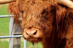 Cattle Like Mammal, Horn, Fauna, Wildlife Stock Photography