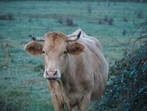 Cattle Like Mammal, Horn, Fauna, Wildlife Royalty Free Stock Images
