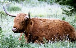 Cattle Like Mammal, Horn, Wildlife, Fauna Stock Image