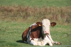 Cattle Like Mammal, Pasture, Grassland, Dairy Cow Stock Photo
