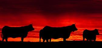 Cattle Like Mammal, Sky, Silhouette, Bull Stock Images