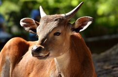 Cattle Like Mammal, Wildlife, Fauna, Horn Stock Photography