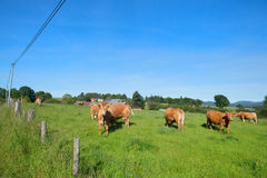 Limousin cows in landscape. Cattle Limousin cows in French landscape Stock Images