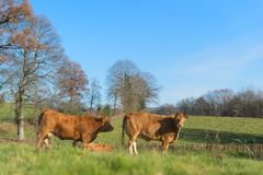 Limousin cows in landscape. Cattle Limousin cows in green French landscape Royalty Free Stock Images