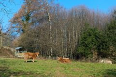 Limousin cows in landscape. Cattle Limousin cows in green French landscape Royalty Free Stock Image