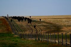Cattle Line. Cattle walking up the hill along the fence and in well worn paths royalty free stock photos