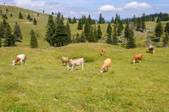Cattle, Livestock grazing on pasture in mountains Stock Image