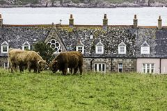 Cattle Locking Horns Near Iona Island Bishops House stock image