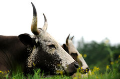 Cattle with long horns. Cattle lying in the grass Stock Image