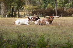 Cattle with Long Horns Stock Photography