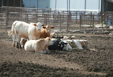 Cattle Lot Stock Photo