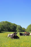 Cattle lying in a meadow Royalty Free Stock Photos
