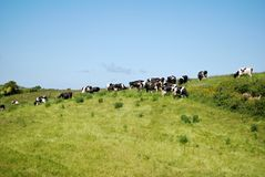 Cattle making milk  Royalty Free Stock Photo