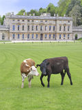 Cattle and manor house (1). Grazing in grand surroundings royalty free stock photography