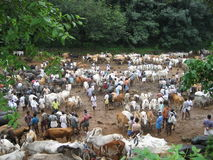Cattle market. This is the picture of a cattle market, where cattles are exchanged as per traditional barter system Stock Photos