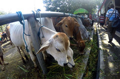 Cattle market Royalty Free Stock Images