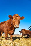 Cattle on a meadow Royalty Free Stock Image