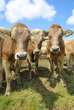 Cattle stock photography