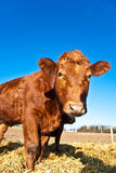 Cattle on a meadow Stock Photo