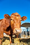 Cattle on a meadow Stock Photography