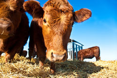 Cattle on a meadow Stock Images