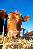 Cattle on a meadow Royalty Free Stock Photo