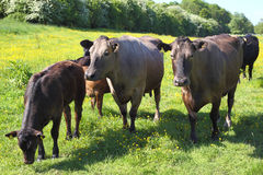 Cattle in a meadow Royalty Free Stock Image