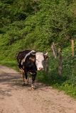 Cow on the road. Cattle of milky cow walking on a road. The picture is taken in the mountains of Transylvania, Romania Royalty Free Stock Photography