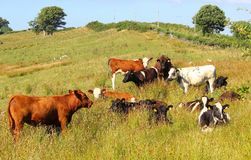 Heifers, mixed breeds and colours, in hillside meadow.