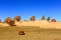 The cattle Royalty Free Stock Photos