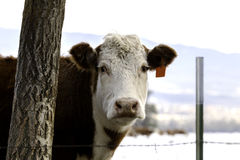Cattle in Montana. This cow looks curious. Ranchers in Montana have to work hard to keep their cattle looking healthy in the winter Stock Images