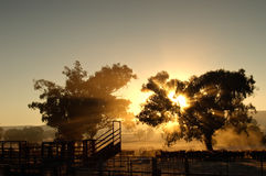 Cattle in the morning Stock Image