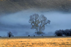 Cattle in Morning Fog. Cattle feeding on pasture with early morning fog Stock Photos