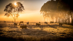 Cattle in the morning. A herd of cattle in pasture, standing in early morning fog Royalty Free Stock Photos