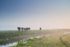 Cattle on morning pasture in fog Stock Photos