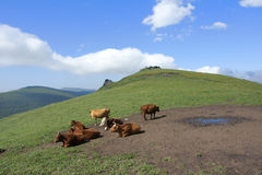 Cattle and mountain Royalty Free Stock Image